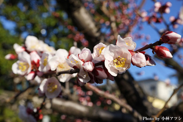 近所に咲いていた梅